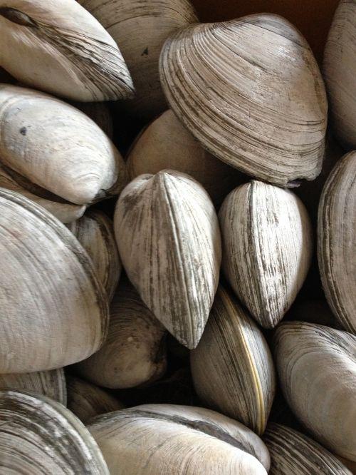 clams rhode island shellfish