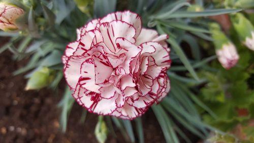 clavel verano flor