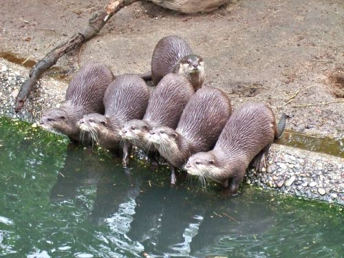 clawed otter water animals