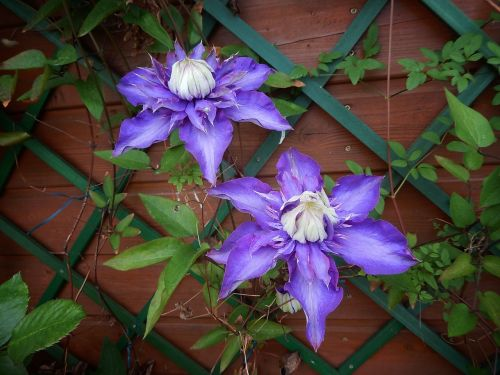 clematis violet rank growths