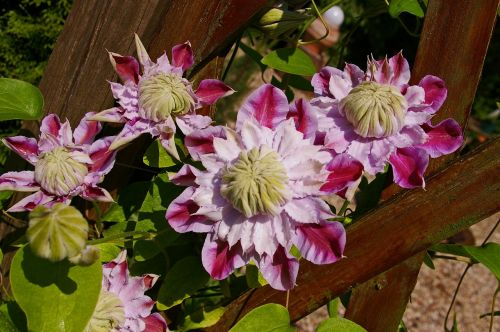 clematis bloom flower