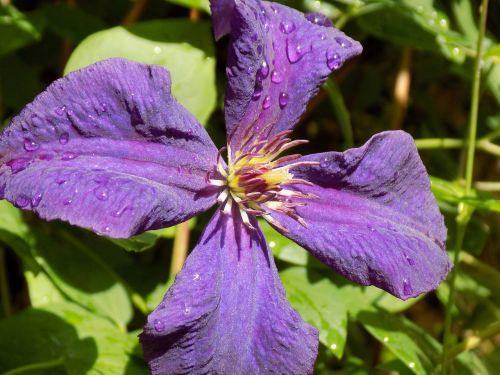 clematis ranunculaceae violet
