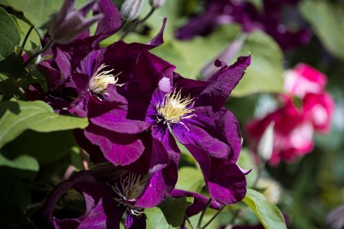 clematis flower dark purple