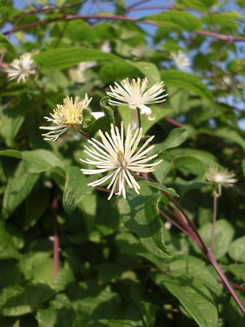 clematis bach flower remedy bach