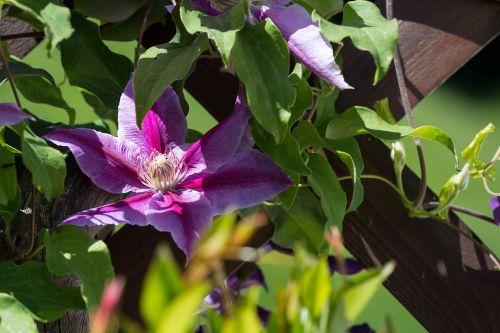clematis flower dark purple