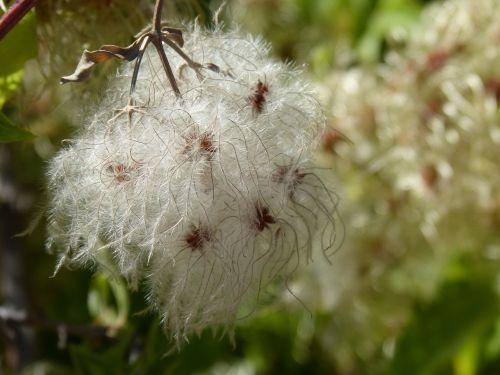 clematis clematis vitalba plant wildlife