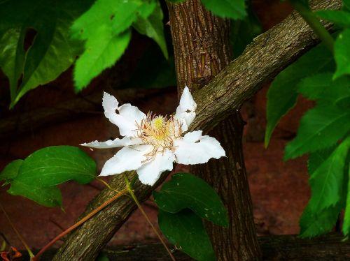 clematis hahnenfußgewächs prevalence rose