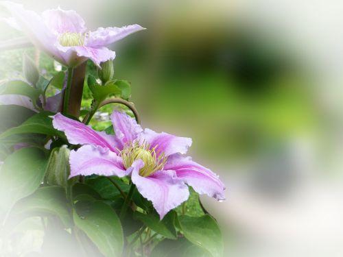 clematis climber garden