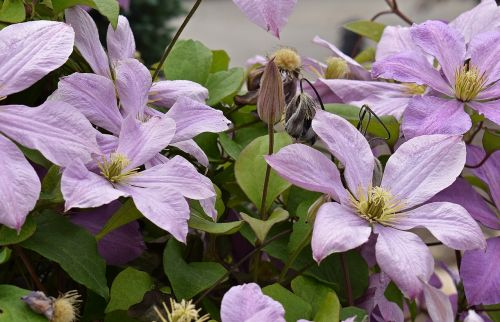 clematis flower blossom