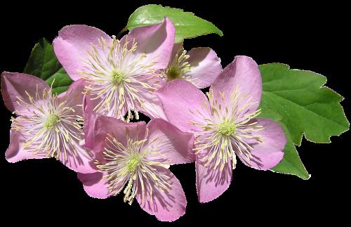 clematis pink montana