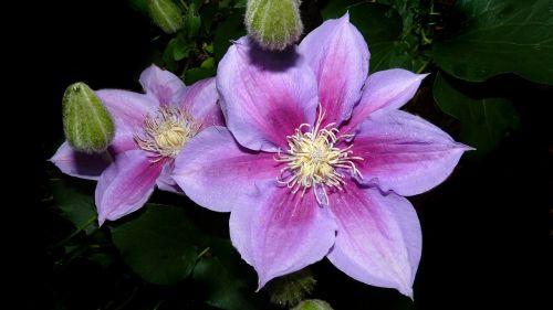 clematis montana pink