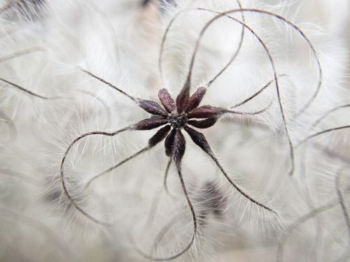 clematis plant seeds