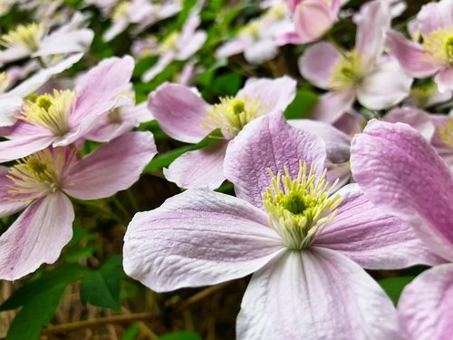 clematis  pink  flower