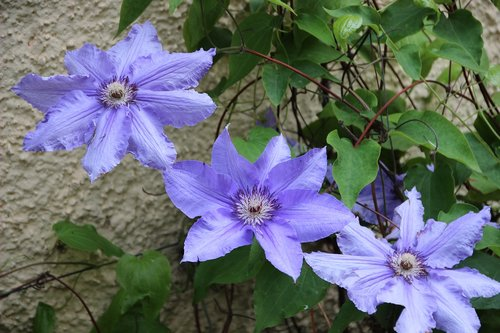 clematis  blue clematis  climber plant