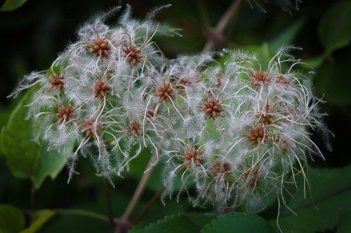 clematis  climber plant  nature