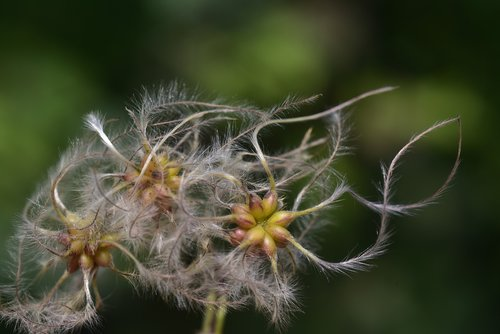clematis  usually  woolly
