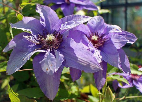 clematis purple light purple