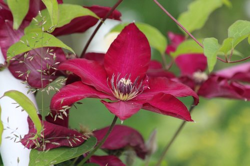clematis  flower  plant