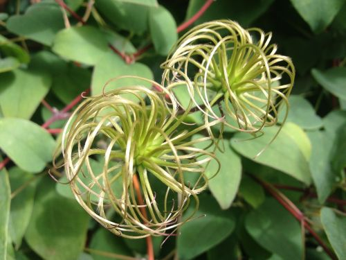 clematis climber vines