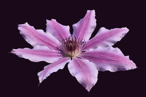 clematis  flower  garden
