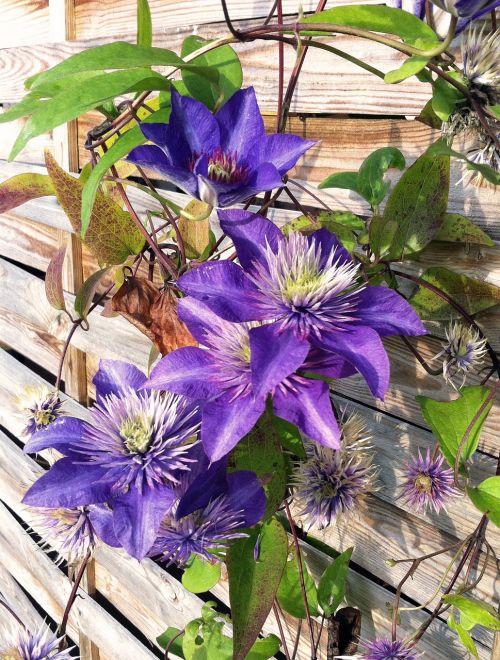 clematis summer purple