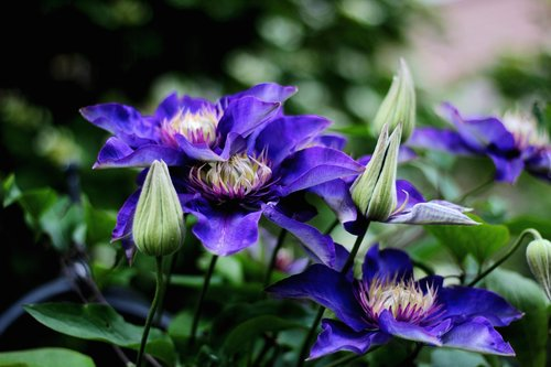 clematis multi blue  flower  blue