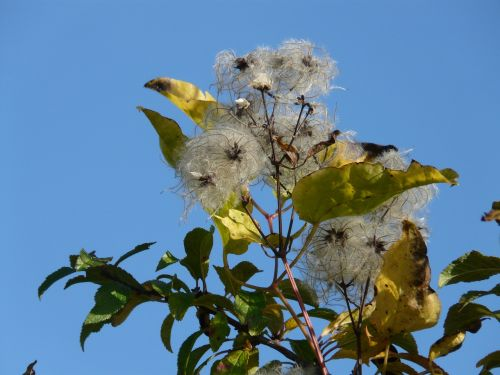 clematis vitalba fruits white