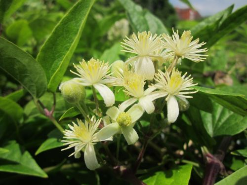 clematis vitalba old man's beard traveller's joy