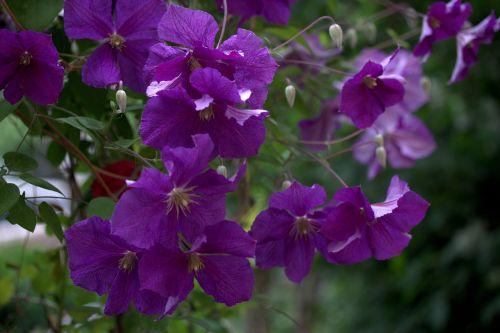 clematita flower mov