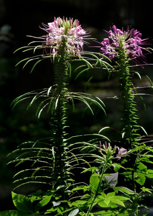 cleome flower flora