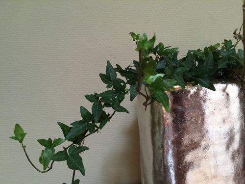 climber ivy efeuranke