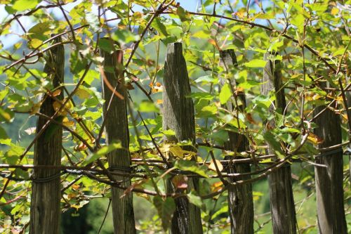 climber creeper fence