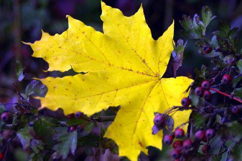 clone leaf yellow