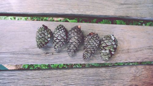 close-up conifer cones fir cones