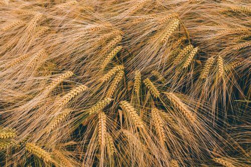 close-up field golden