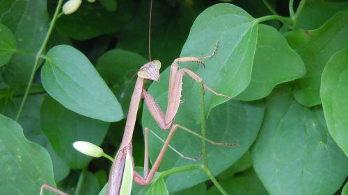 close-up praying mantis eyes