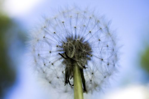 close up dandelion flower