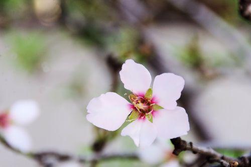 Close-up Almond Blossoms