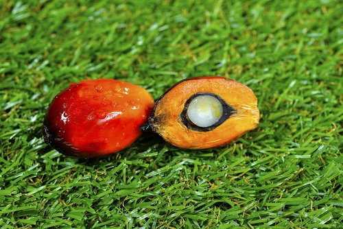 close up of fresh palm oil fruits  selective focus  grass