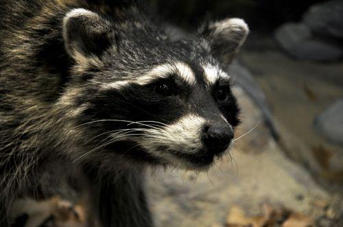 Close-up Of Raccoon Face