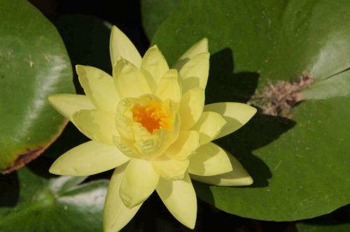Close-up Of Yellow Waterlily