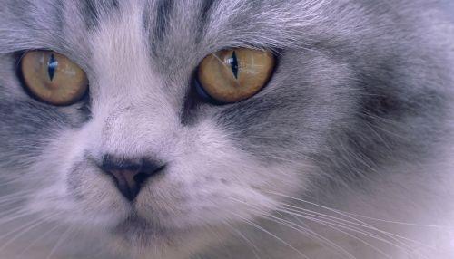 Closeup Face Of Persian Cat