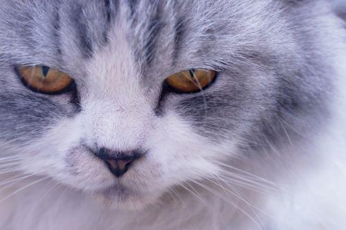 Closeup Face Persian Cat