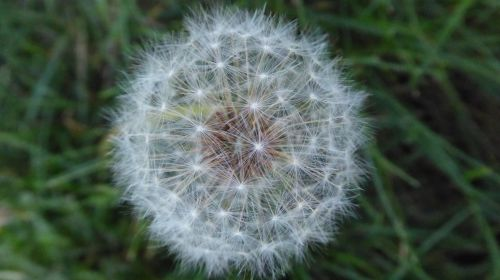 Closeup Of A Dandelion