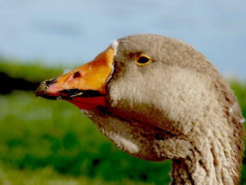 Closeup Of Goose Head