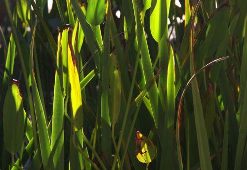 Closeup Of Green Reeds