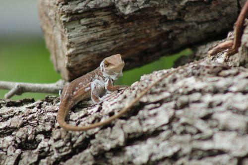 Closeup Of Lizard Shedding