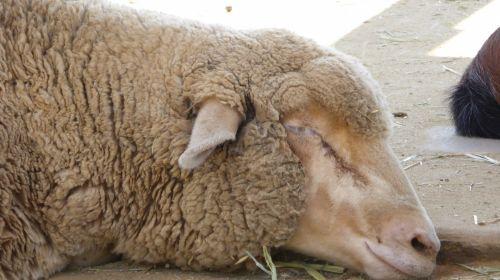 Closeup Of Sleeping Lamb