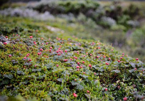cloudberry polish suomuurain