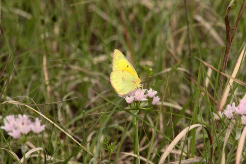 Clouded Sulphur Butterfly In Field